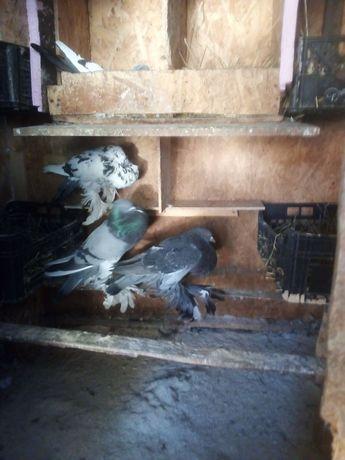 Porumbei gusati de pomeriana