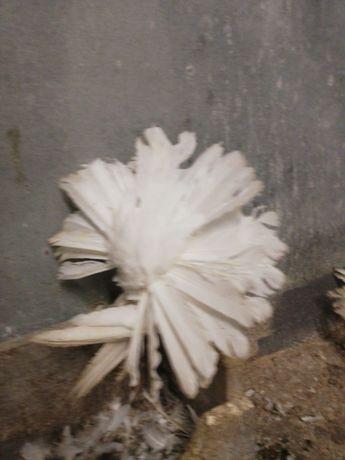 Гълъби  Фенерлии