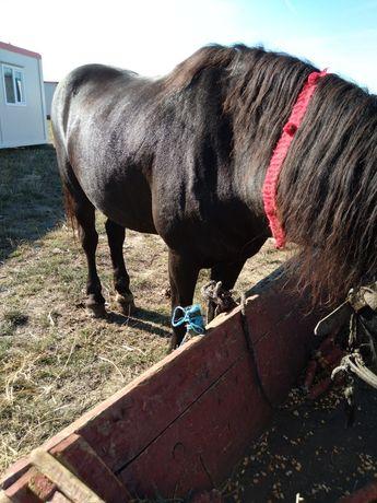 Vand un cal castrat curat cuminte fără nici un defect