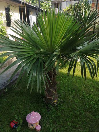 Палми трахикарпус