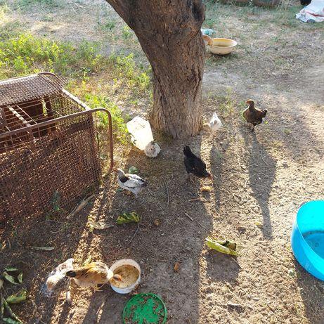 Продается цыплята
