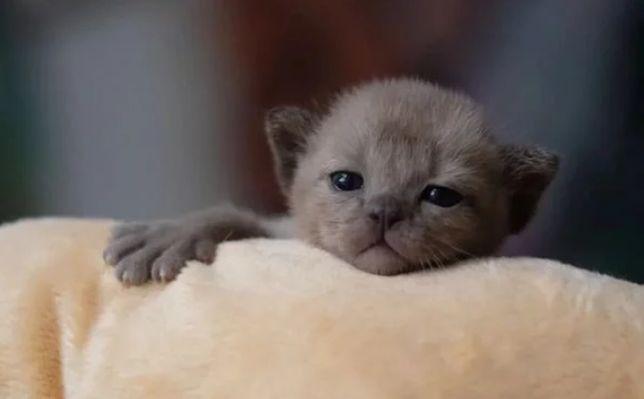 Шелковые котята - европейская бурма