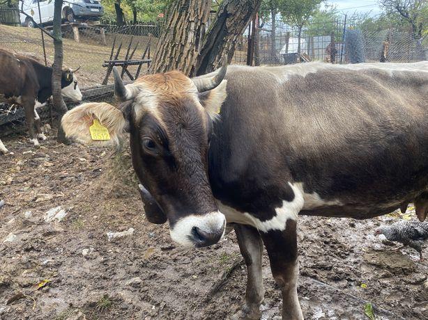 Vand vaca gestanta + 2 vaci de sacrificat