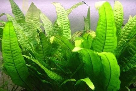 Аквариумные растенияПапоротник таиландский широколистный - Microsorum