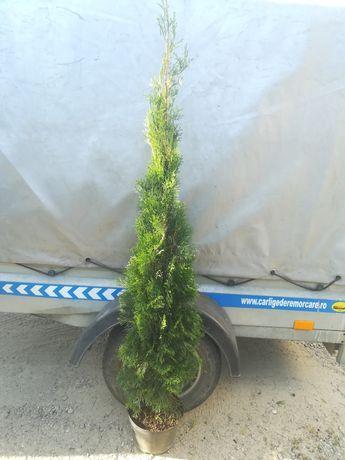 Tuia smarald 110/130cm