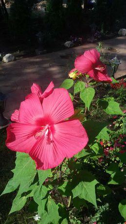Hibiscus xxl in ghiveci de 10 litri