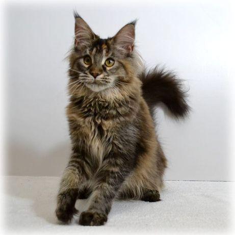 Срочно продам кошку Мейн Куна