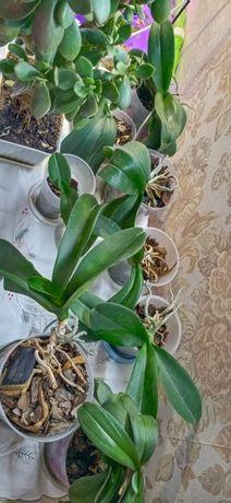 Продам орхидеи нецветущие