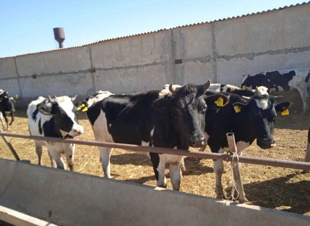 Продам породисных Белоголовый бычков. бычки букалар