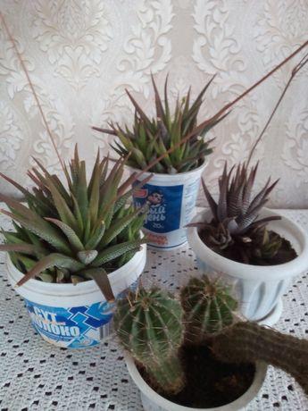Комнатные растения, кактусы.