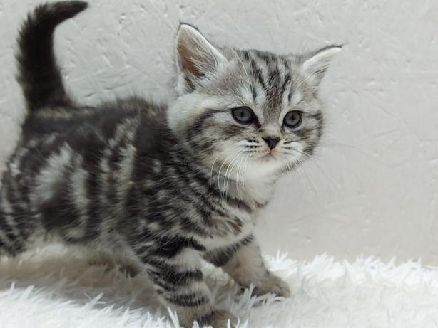*шотландские котята в яркой плюшевой шубке .