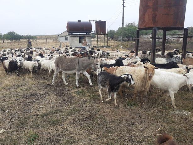 Vând măgar de oi