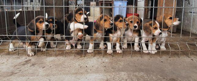 Pui beagle tricolor își caută stăpân