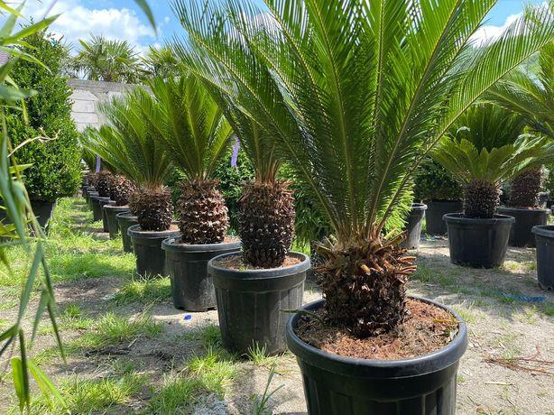 Vând măslin oleo europea și palmieri
