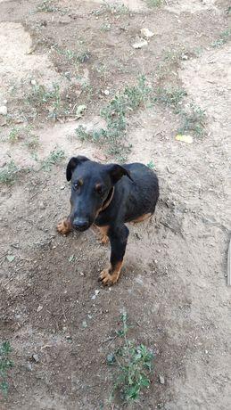 Пропал щенок немецкого ягдтерьера 6 месяцев, чёрно-коричниевый окрас,