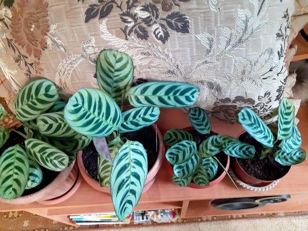 Цветы комнатные Ктенанта. Растение неприхотливое растет при любом осве
