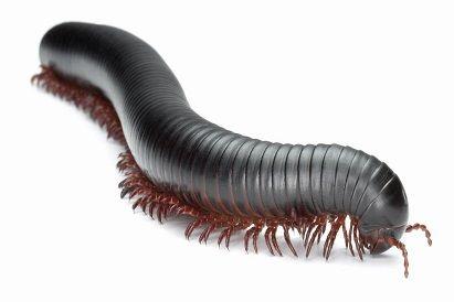 Гинатска многоножка (Archispirostreptus gigas)