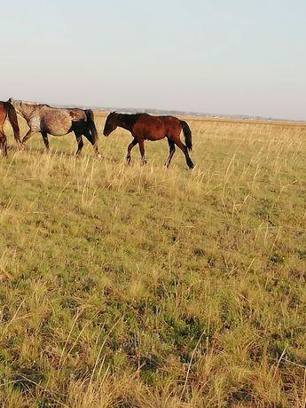 Лошади Бие  6 жаста жеребенок только родился плюс жеребенок 1 год