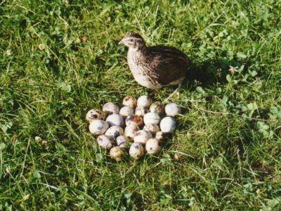 Producător - ouă de prepeliță și prepelițe.