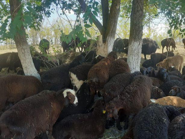 Продажа баранов , Бараны , ягнята, кой , козы