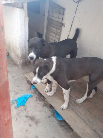 Câini de Asia Centrala