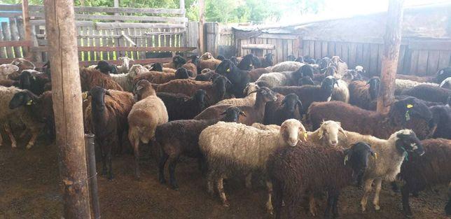 бараны кошкары овцы марка ягнята козы овцематки  койлар баранина