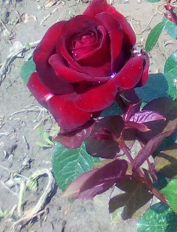 Trandafiri butasi de vanzare