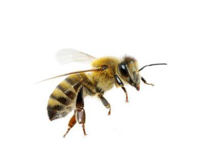 Venin de albine pur 100%
