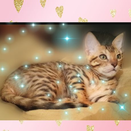 Бенгальский  котенок, бенгальский  кот, бенгальская кошка