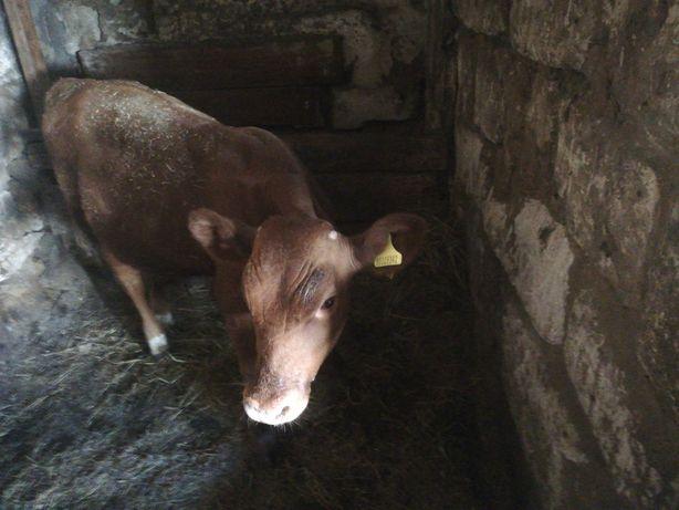 Телёнок, бычок, возраст 6 месяцев
