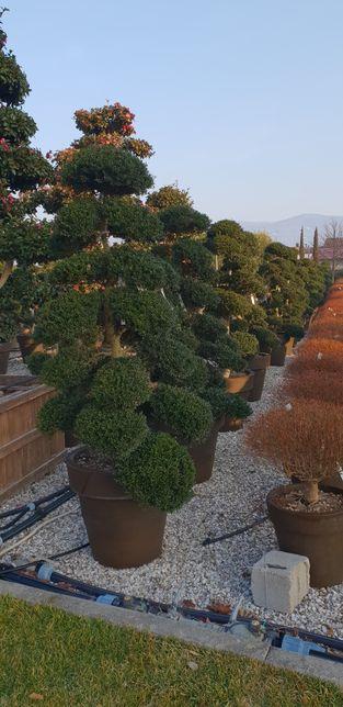 Vindem plante ornamentale de mai multe specii
