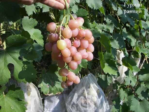 Виноград саженцы и черенки Гурман ранний