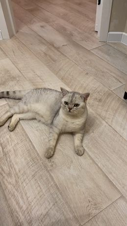 Продам в добрые руки котика порода Британская шиншилла.