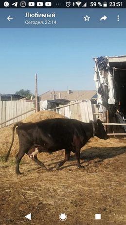 Продаются три дойные коровы и телята подсосные