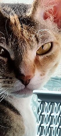 Продам кошку породы сфинкс браш