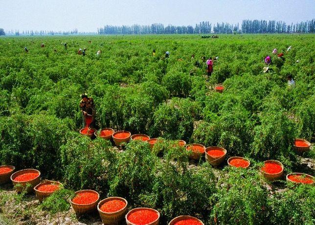 PRODUCATOR Vand Goji rosu/negru pe rod, butasi, plante, seminte fructe