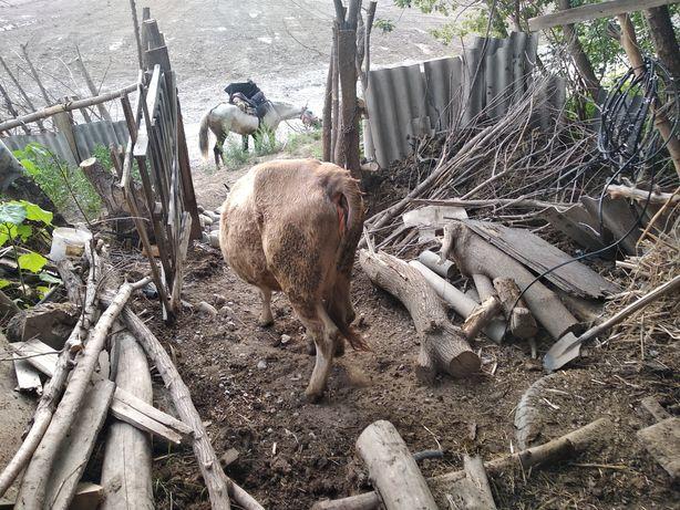 Продается корова породы алатау