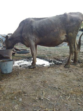 Продам корову дойная хорошей породы с теленком