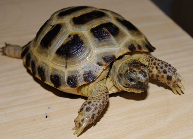 Черепахи сухопутные среднеазиатские