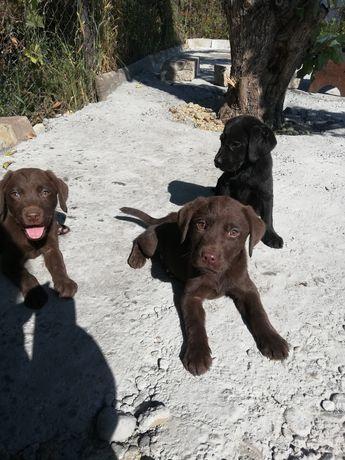 Продаются прекрасные щенки лабрадор-ретривер