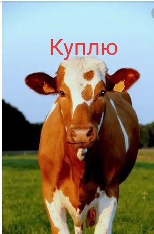 Корову или телку