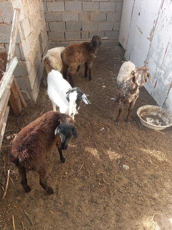 Продам ягнать семиз козы