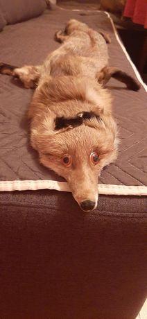 Яка от истинска златна лисица