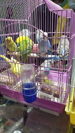 Волнистые попугаи, малыши