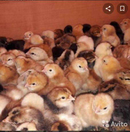 Цыплята домашние