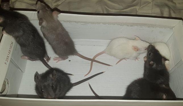 отдам за шоколадку или как договоримся крысенка