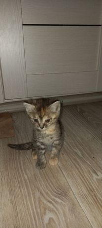 Котята девочки 3 месяца