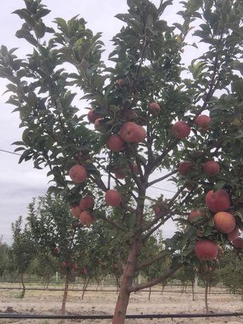 Продам яблони