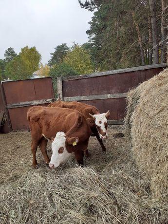 Продам тёлок, от хороших коров