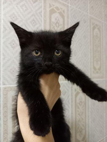 В добрые руки британская кошка
